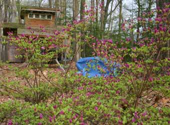 April and the Azaleas in bud