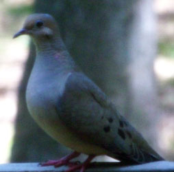 Mourning Dove (the pidgeons of the south) on our railing